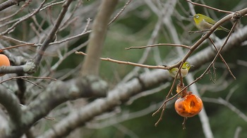 鳥と柿.jpg